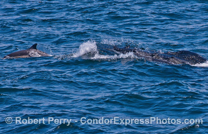 The long-beaked common dolphin to the left is riding the nose of the humpback whale to the right.