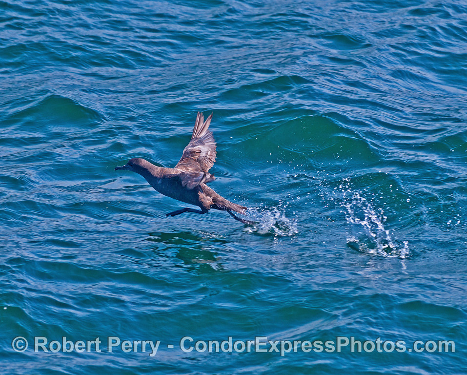 Taking off by running on water - sooty shearwater.