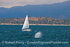 "People out for some sailing lessons get close to humpback whales in the wind.  ""The Mesa"" in Santa Barbara is in the back."