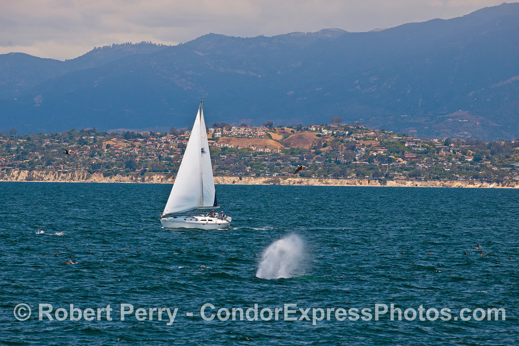 """People out for some sailing lessons get close to humpback whales in the wind.  """"The Mesa"""" in Santa Barbara is in the back."""