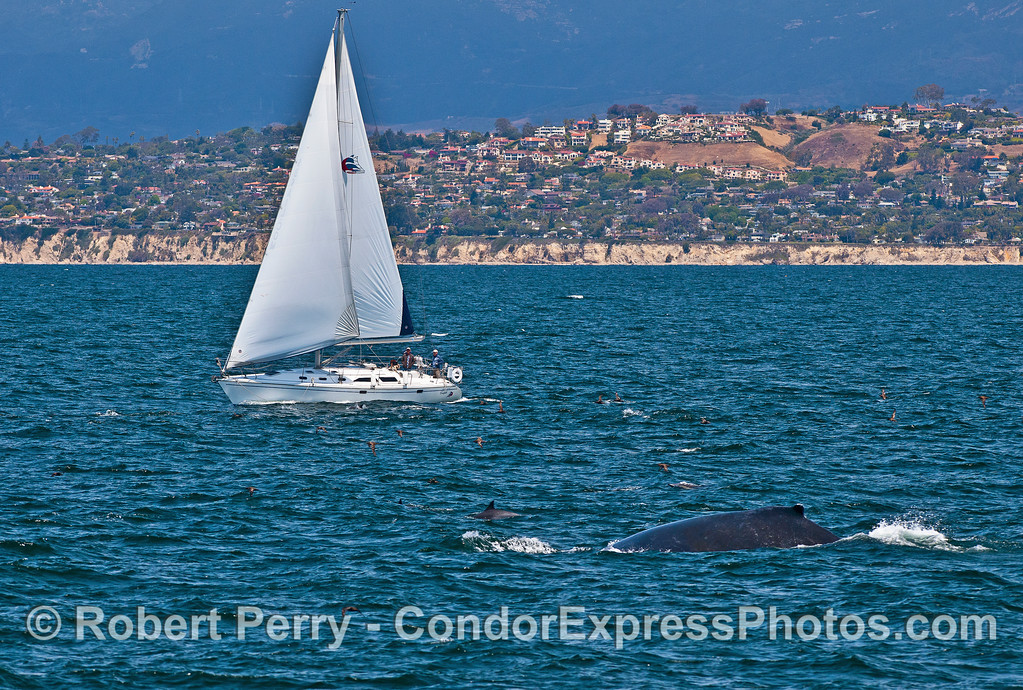 Sailboat with common dolphins,  a humpback whale, and plenty of sooty shearwaters.