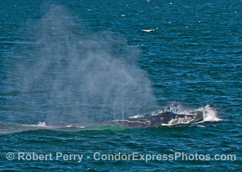 An adult humpback whale spouts in the breeze.