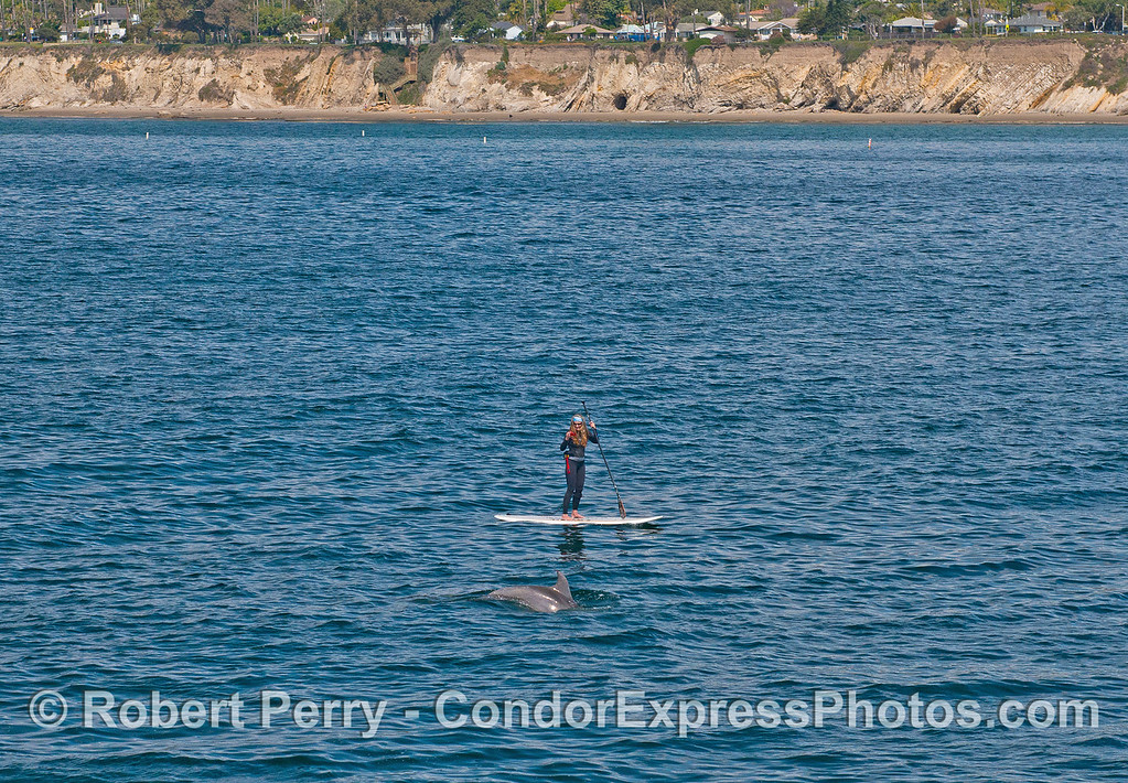 Wide angle view:  Photograph of a Stand Up Paddler (SUP) taking a photograph of a friendly inshore bottlenose dolphin.