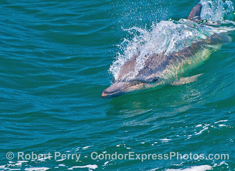 Close look at a surfing common dolphin.
