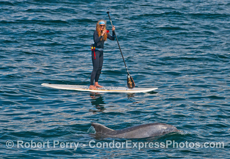 Photograph of a Stand Up Paddler (SUP) taking a photograph of a friendly inshore bottlenose dolphin.