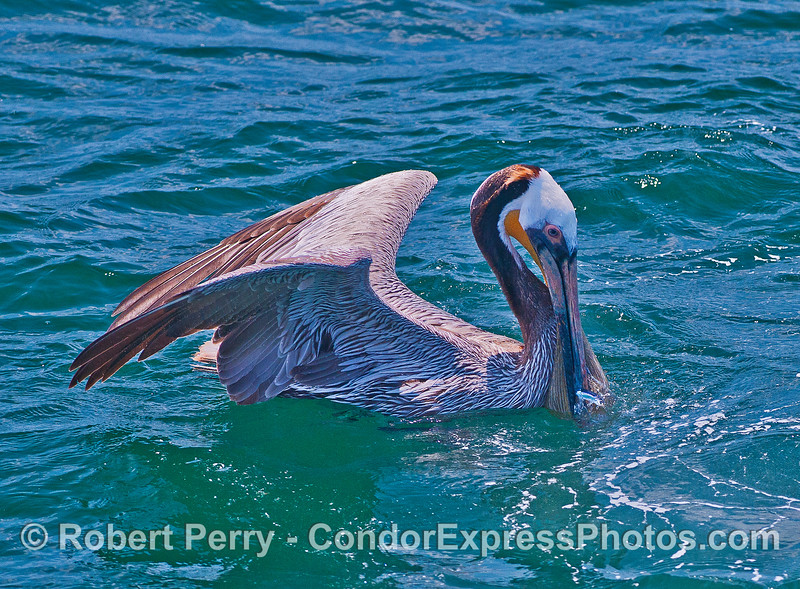 A northern anchovy tries to wiggle out of the mouth of this brown pelican.  (Footnote:  it did not escape).