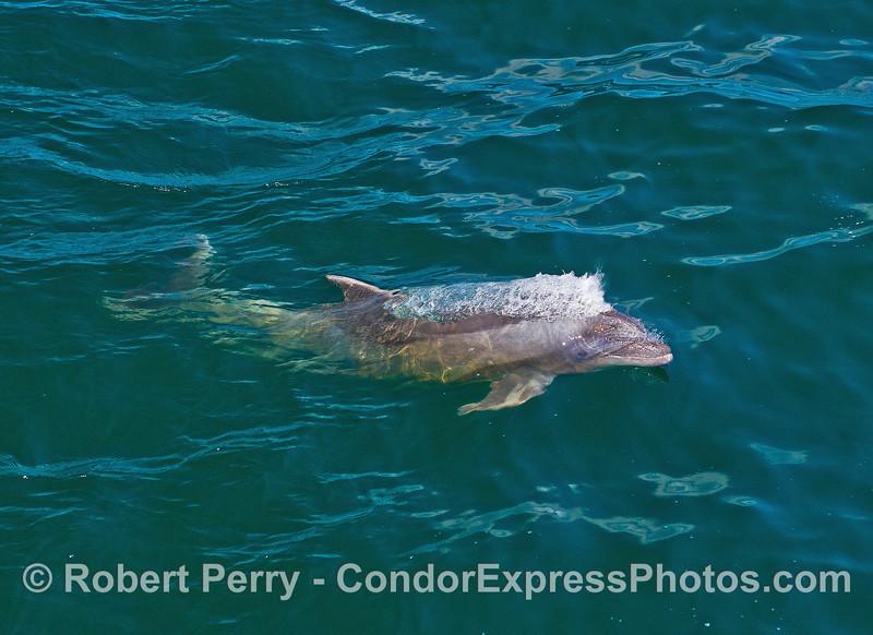 Inshore bottlenose dolphin.