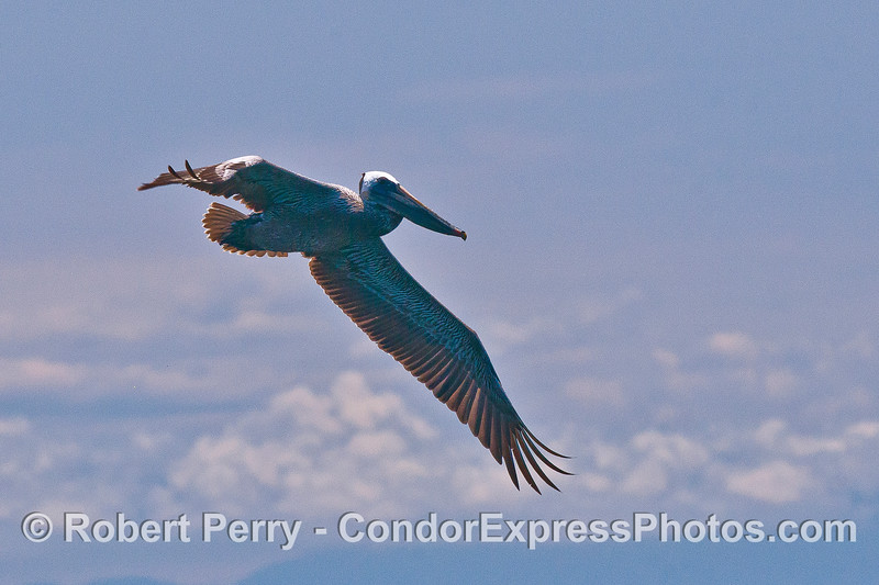 A soaring brown pelican.