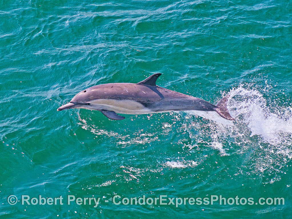 Image 2 of 2:  a leaping long-beaked common dolphin.