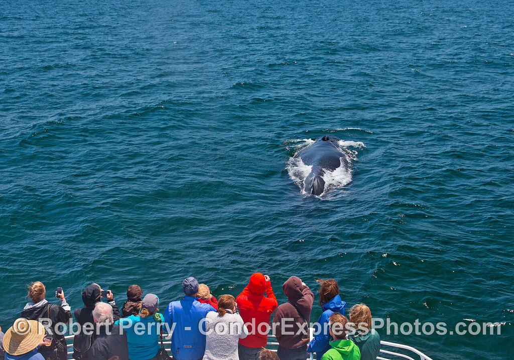 An extremely friendly humpback whale pays a visit to its fans on the Condor Express.