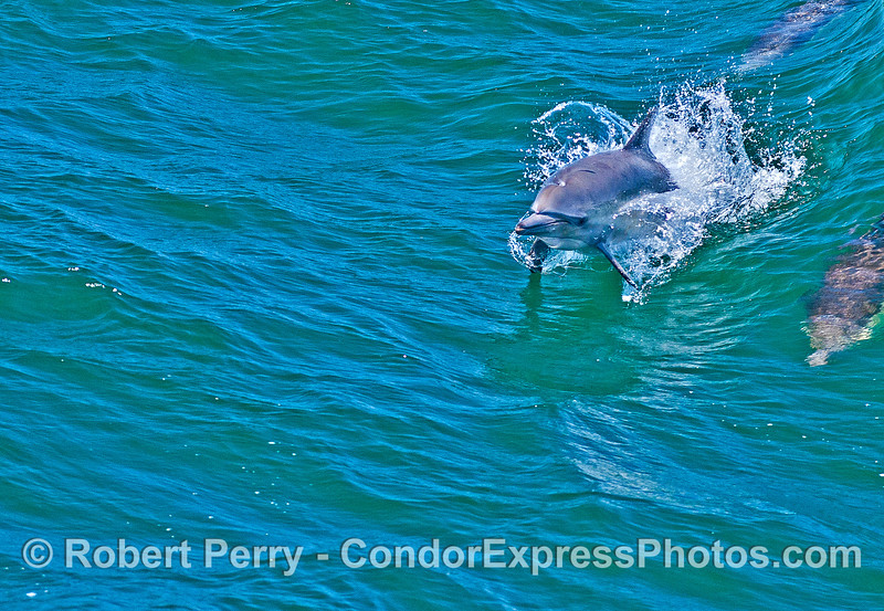 A common dolphin prepares for take off !