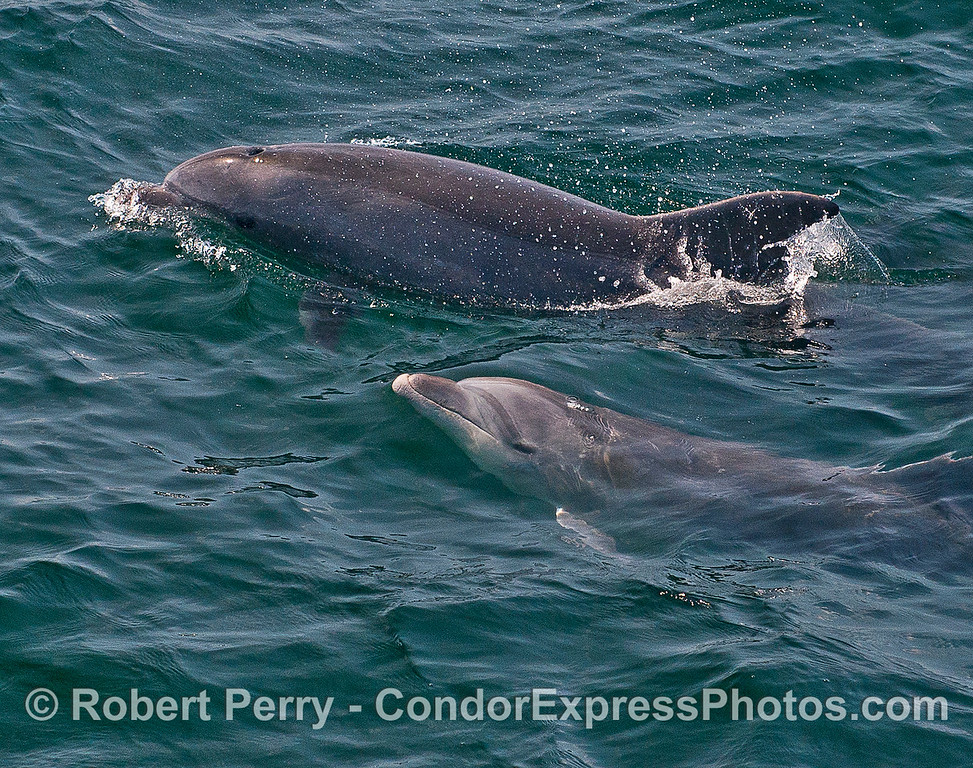 Mother and calf - inshore bottlenose dolphins.