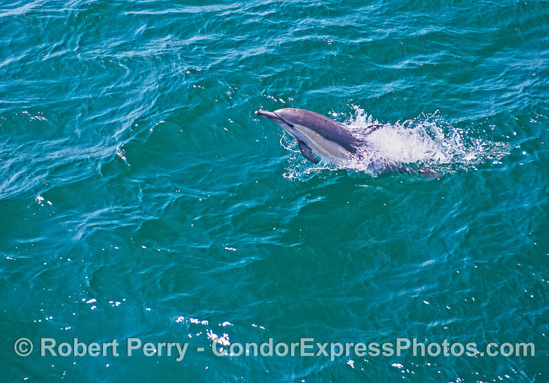 Image 1 of 2:  a leaping long-beaked common dolphin.