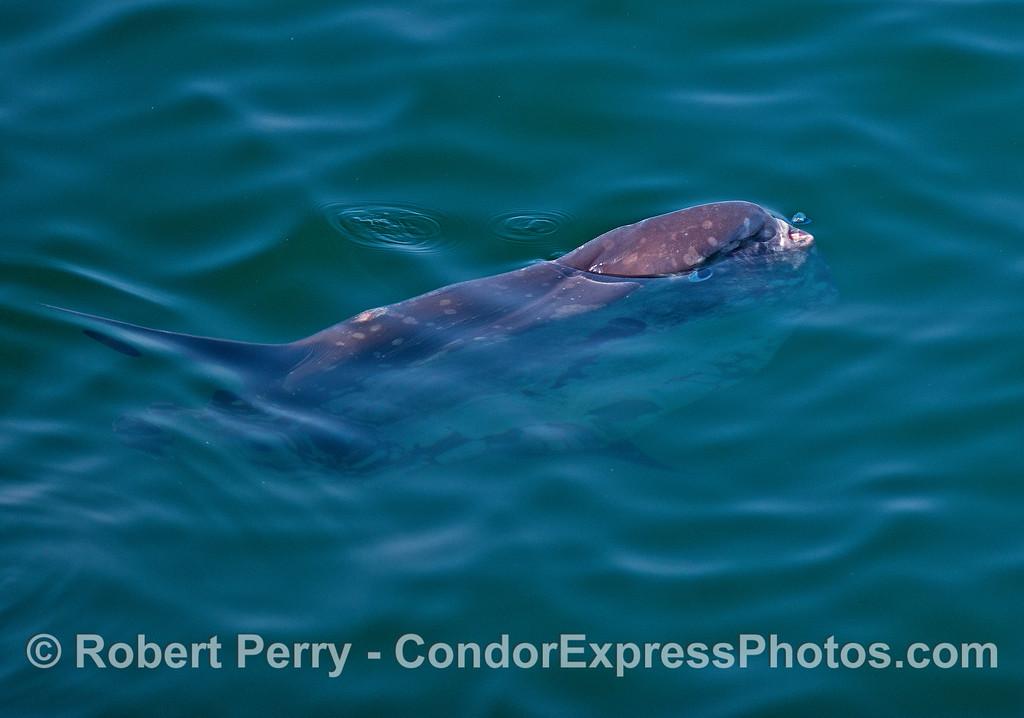 Mola mola (ocean sunfish)  feeding on little jellies called purple sailors (Velella velella).