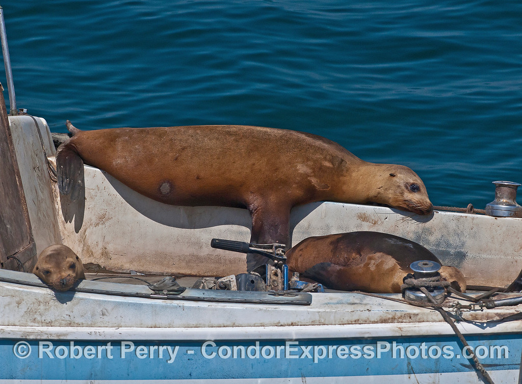 California sea lion lounging on derelict sailboat.