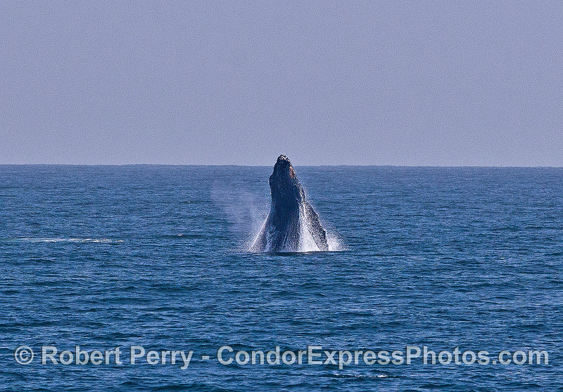 Image 2 of 6 in a sequence:   first humpback whale breach.