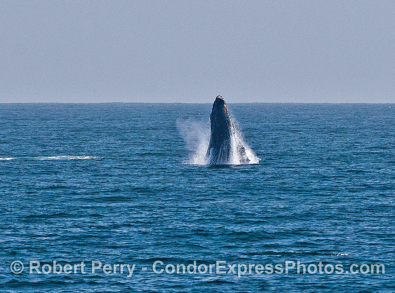 Image 1 of 6 in a sequence:   first humpback whale breach.