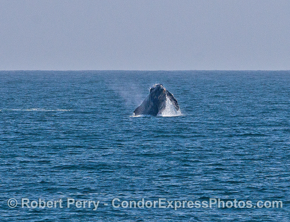 Image 4 of 6 in a sequence:   first humpback whale breach.  MId air roll.