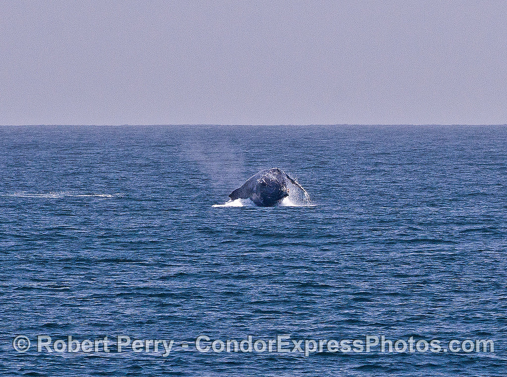 Image 5 of 6 in a sequence:   first humpback whale breach.  Top of head on left, landing on right side.