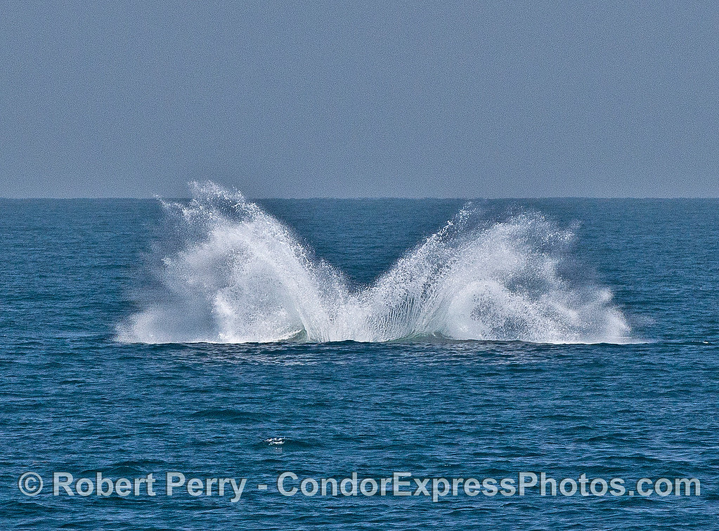 Image 6 of 6 in a sequence:   second humpback whale breach.  Big splash.