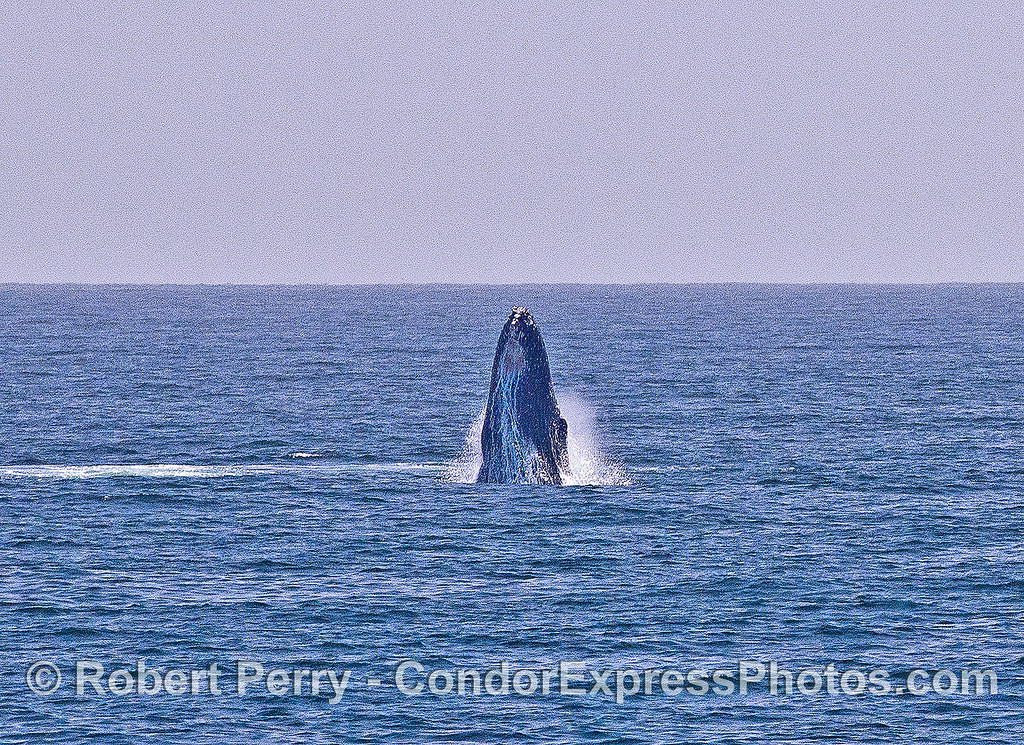 Image 1 of 6 in a sequence:   second humpback whale breach.