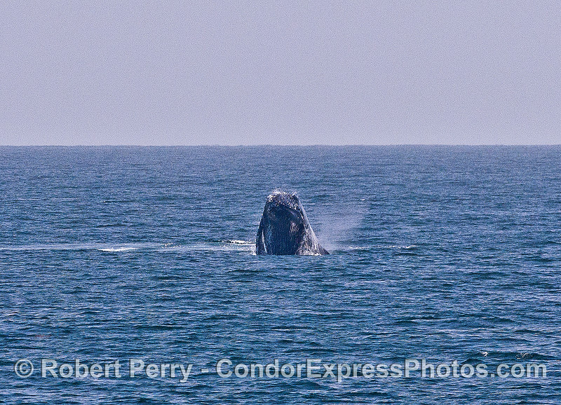 Image 4 of 6 in a sequence:   second humpback whale breach.  Heading directly at camera, pectoral fins down.