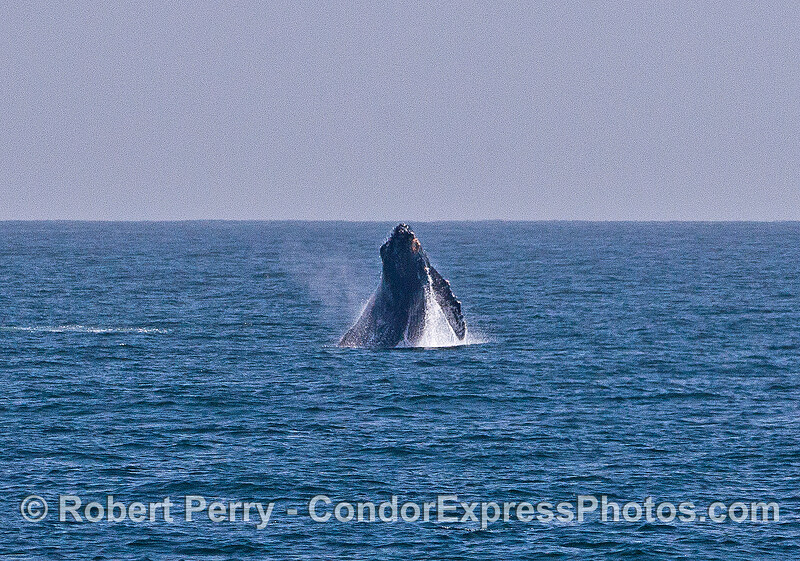 Image 3 of 6 in a sequence:   first humpback whale breach.