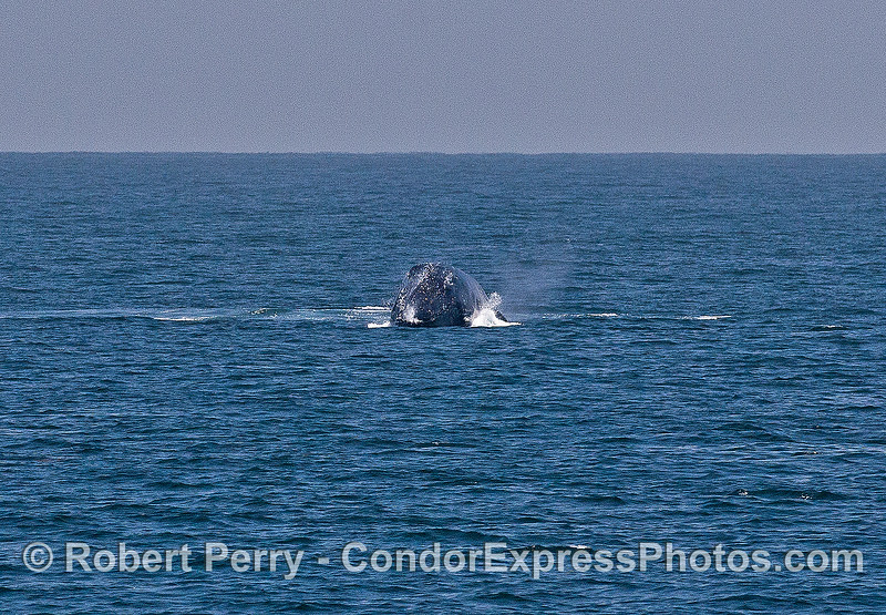 Image 5 of 6 in a sequence:   second humpback whale breach.  Top of head on right, landing on left side.