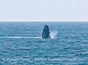 Image 3 of 6 in a sequence:   second humpback whale breach.
