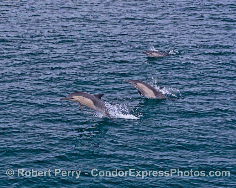 Image 1 of 2 in a row:  Three leaping long-beaked common dolphins.