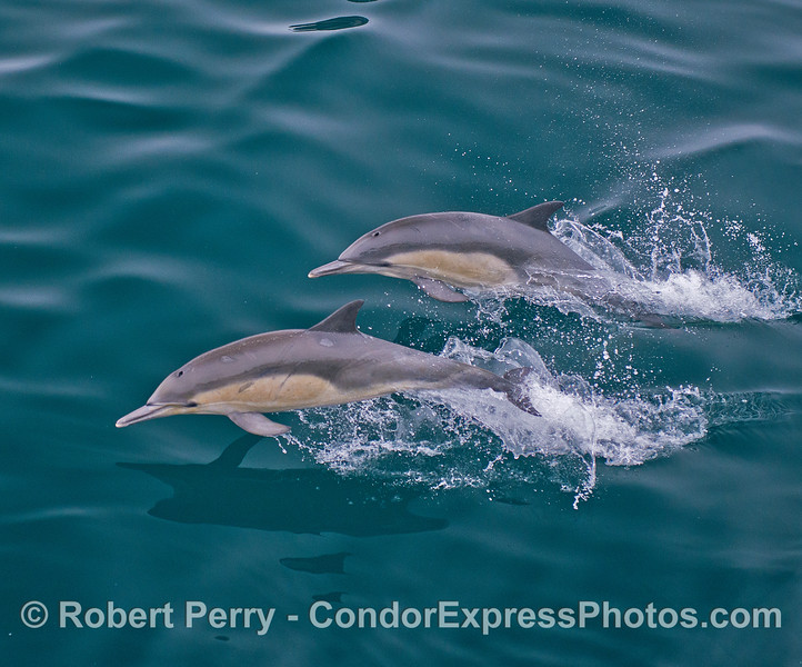 Leaping long-beaked common dolphins - two leaping over emerald water.