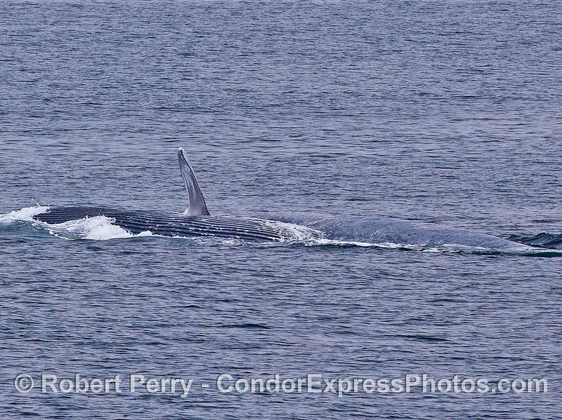 A surface lunge-feeding humpback whale is rolling over, exposing its ventral grooves and pectoral fin.