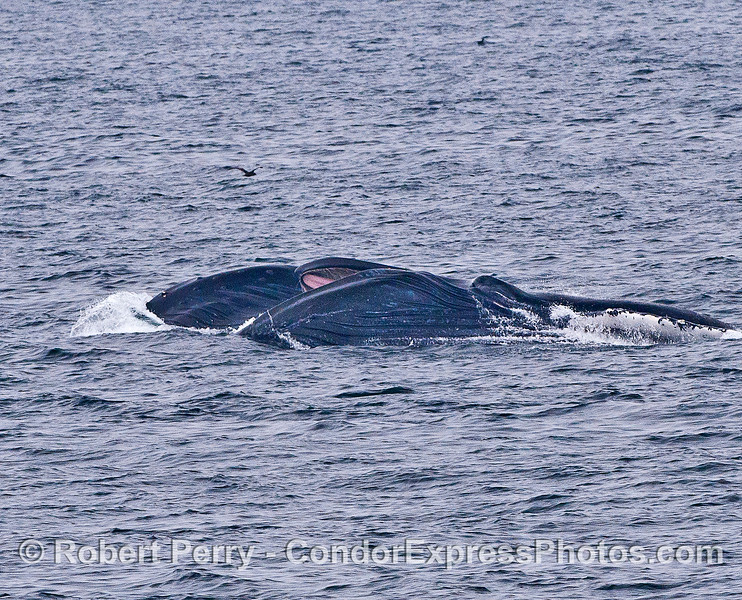 Image 2 of 2 in a row:  Two side-by-side humpback whales lunge-feed on the surface attacking a large aggregation of krill.