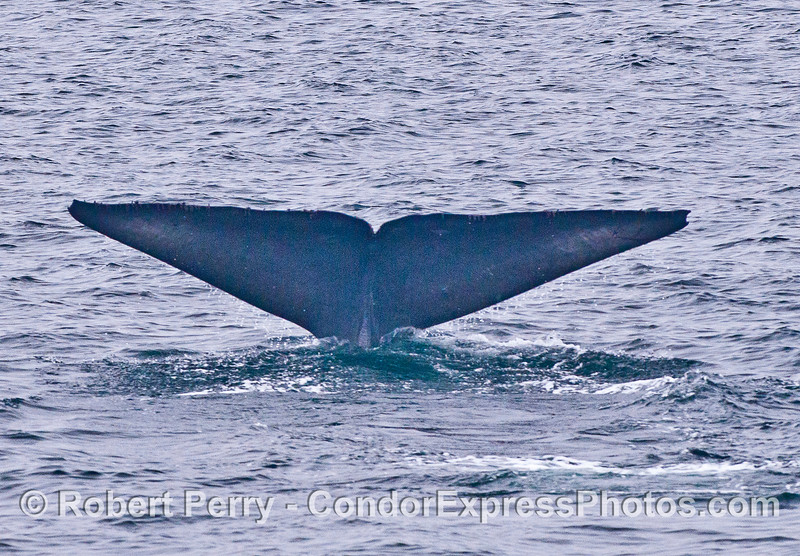 Image 3 of 3 in a row:  Blue whale tail flukes.