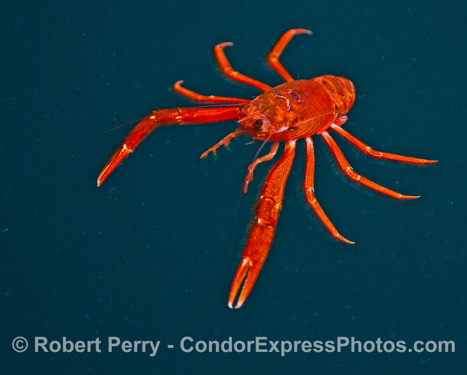 Pelagic red crab.