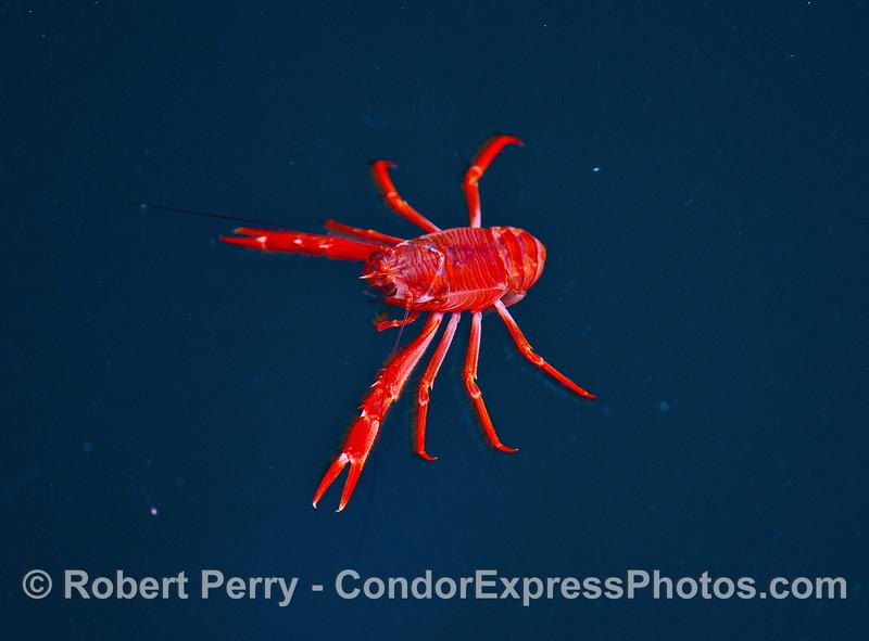 Pelagic red crab.