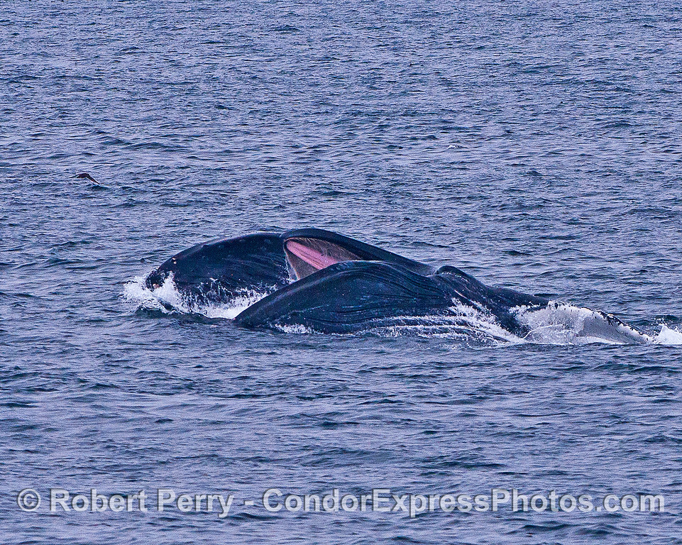Image 1 of 2 in a row:  Two side-by-side humpback whales lunge-feed on the surface attacking a large aggregation of krill.