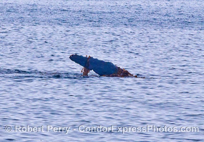 A kelping humpback whale.