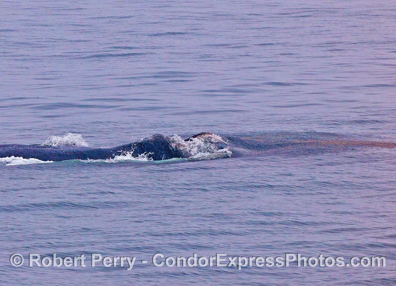 """Image 2 of 3:  On the right edge of this image there is a plume of red """"spots"""" which are actually krill jumping out of the water as the massive jaws of a surface lunge-feeding fin whale close in on the crustaceans."""