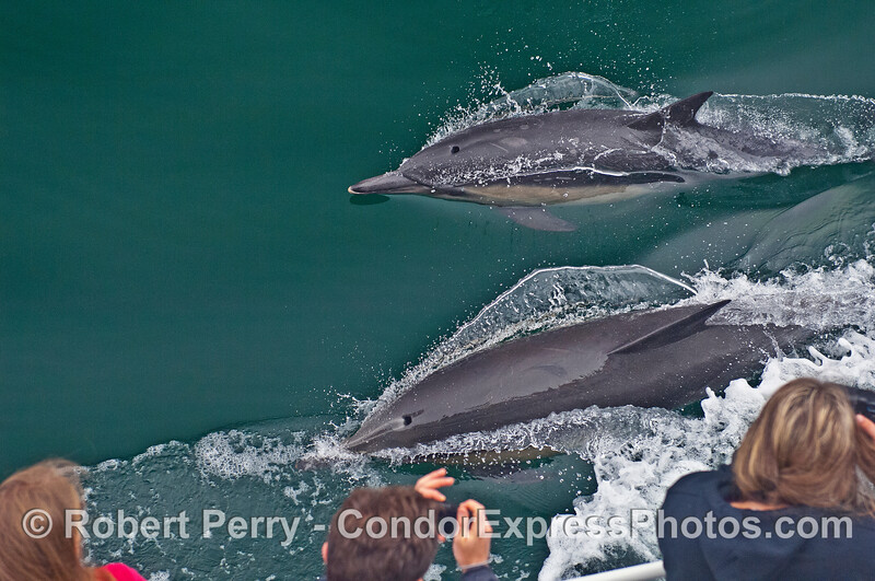 Whale watchers get a very close look at two long-beaked common dolphins.