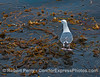 Mr. Gull keeps a wary eye out as it rides on a drifting kelp paddy miles offshore.
