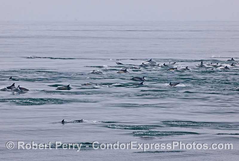 A wide-angle view of a long-beaked common dolphin pod on the move.