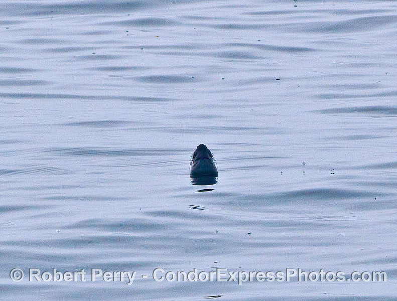 Image 3 of 3:  a female northern elephant seal rests on the surface with lots of little Velella all around.