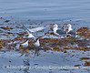 Three elegant terns and a couple of western gulls take a little rest in the middle of the Santa Barbara Channel on a drifting giant kelp paddy.