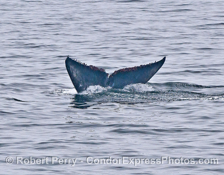Blue whale tail flukes - image 4 of 4 in a row.