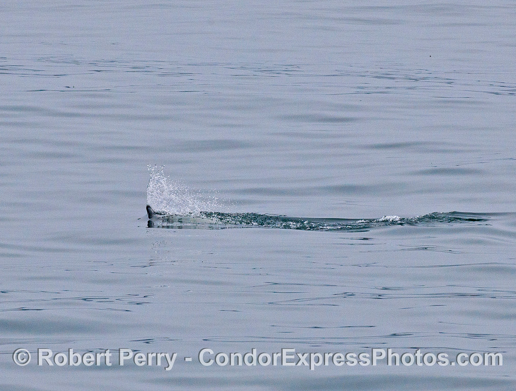 A long-beaked common dolphin swam for a considerable distance at  high speed with its beak out of the water like this.