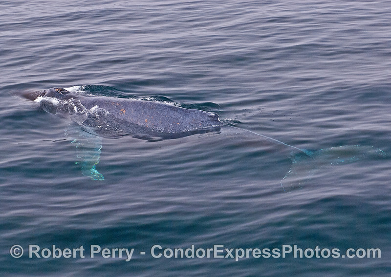 Humpback whale whole body view.