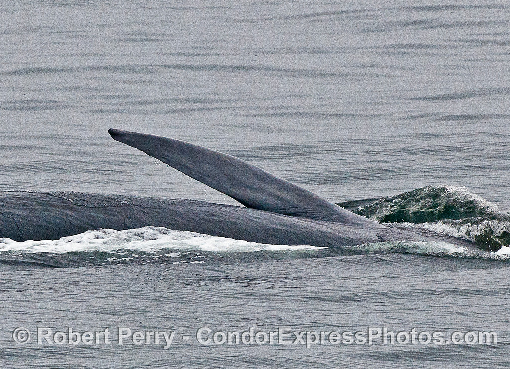 Fin whale on its side lunge-feeding on the surface krill showing us its pectoral fin.
