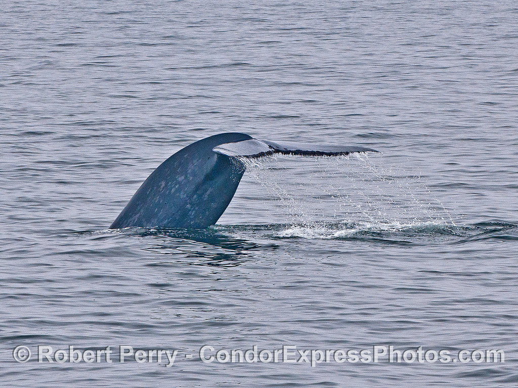 Blue whale tail flukes - image 2 of 4 in a row.