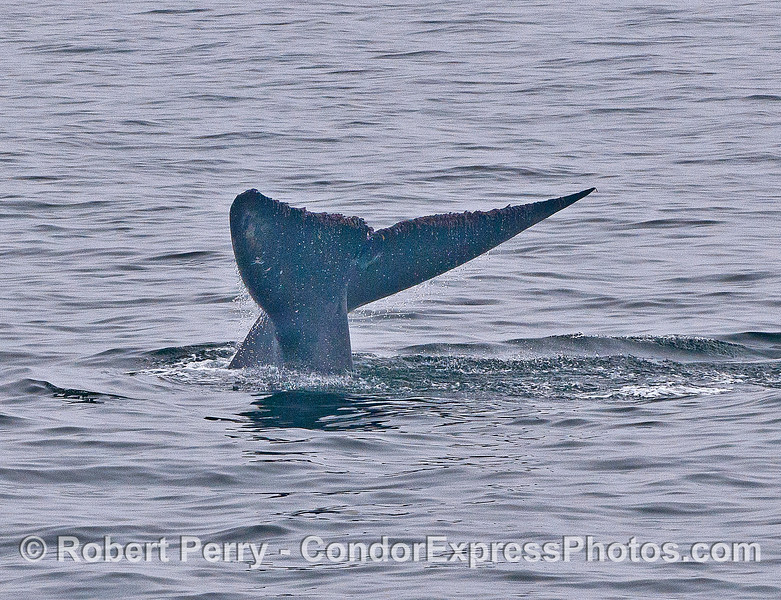 Blue whale tail flukes - image 3 of 4 in a row.